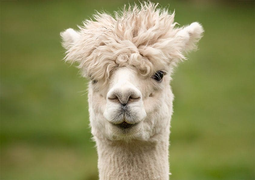 Trend-Tier aus Peru: das Alpaka